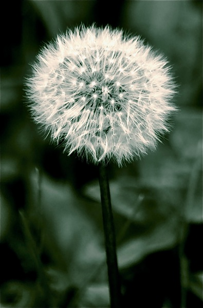 Black & white photo of a single dandelion clock