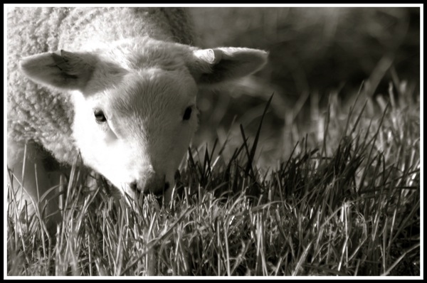 Photo of a lamb about to eat grass while looking into the camera