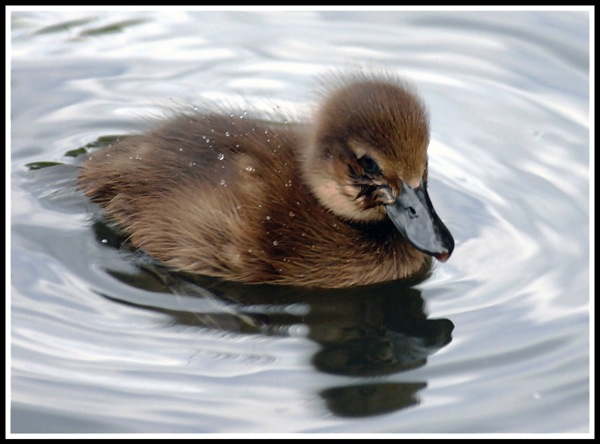 A tiny baby duckling sat floating on a pond