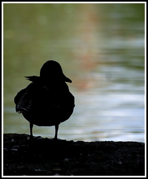 A photo of a duck which looks all black as it stands on a log in the shadows
