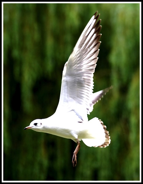 A beautiful shot of a seaful in flight, flying from right to left with a green willow tree in the background.