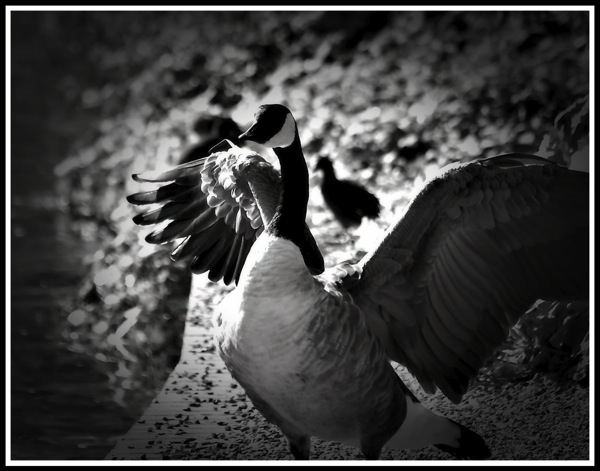 A Goose stood flapping its wings!