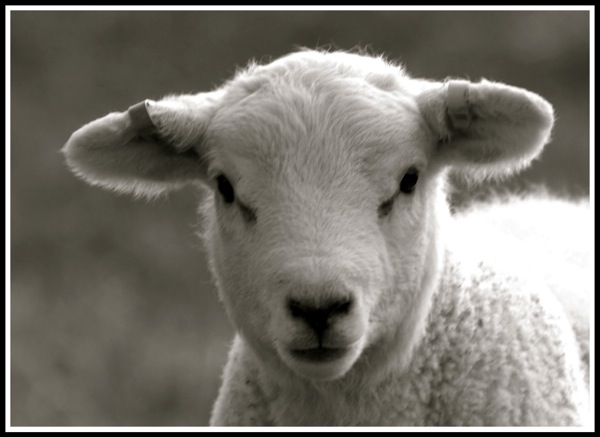 Portrait of a lamb looking straight into the camera!