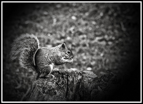A black and white photo of a Squirrel eating from the right side profile