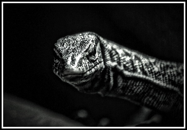 A black and white framed photo of a close up shot of a smiling lizard