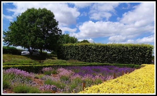 Norfolk lavender 1