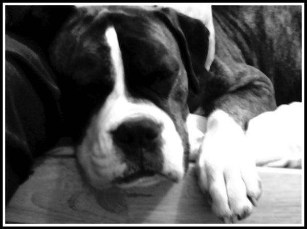 A black and white photo of a boxer dog looking sleepy as he lyes slumped over the edge of a sofa. The image also has a frame.