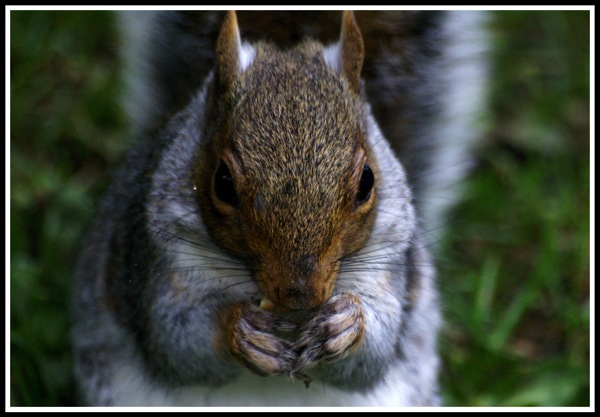 A photo of a squirrell eating a mini cheddar biscuit and looking directly into the camera!