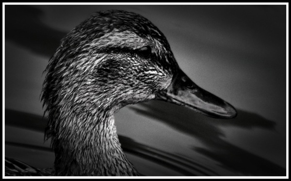 A side portrait of a duck looking to the right.