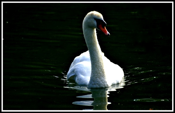 Photo of a swan looking elegant and reflecting in a lake