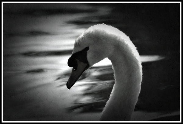 A side portrait of a Swan looking to the left