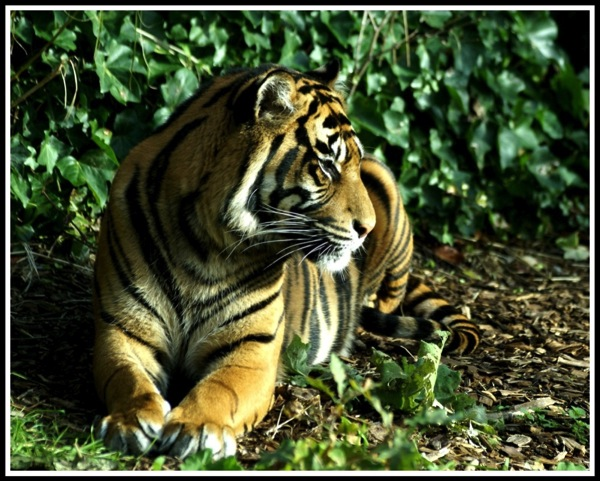 A photo of a Tiger lying down and looking loeft with sunshine streaming down on its face, showing long whiskers!