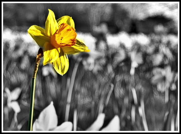 Yellow Daff