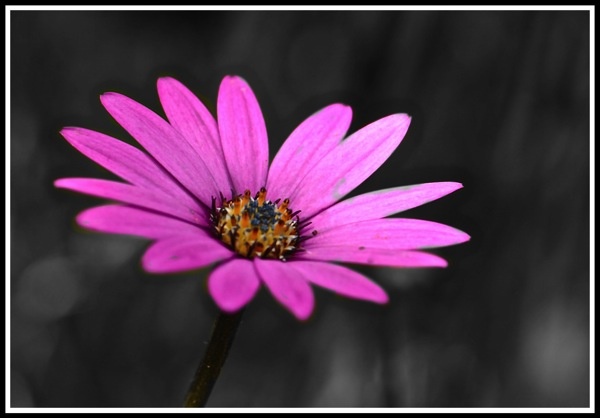 A blue flower in full colour and focused with a black and white background