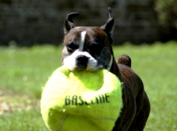 A photo of Bruce running towards the camera with a huge burst tennis ball in his mouth