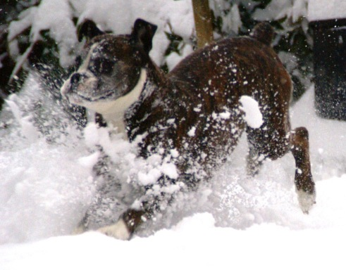 Bruce diving in the snow with front paws kicking up lots and lots of snow