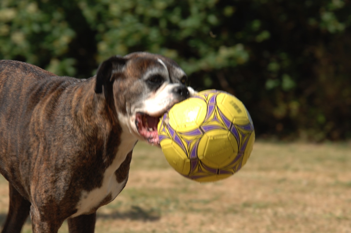 Bruce moving in from the left of the picture with a football in his mouth but his nose is nice and clear
