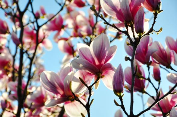 magnolias-768x510